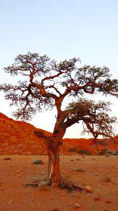 Ancient Camel Thorn #trees #desert #Namibia