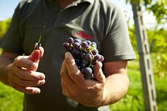 Allegrini, Fumane, Veneto Italy, Valpolicella Red grapes just picked by a master.