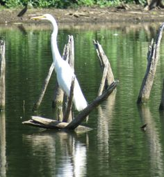 Bird Photos, Birding Sites, Bird Information: GREAT EGRET, E. T. SETON PARK, TORONTO, ON
