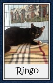 Petango.com – Meet Ringo, a 1 year 8 months Domestic Shorthair / Mix available for adoption in DESERT HOT SPRINGS, CA