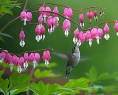 bleeding heart flower & sweet hummingbird