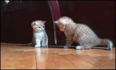 KiTTEN GIF • Funny Kitten fight Kitten takes down sister Cute knock down (Poor baby)