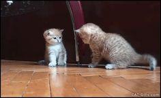 KiTTEN GIF • Funny Kitten fight Kitten takes down sister Cute knock down (Poor baby)