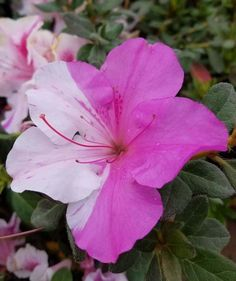 Check out our comprehensive Encore Azalea guide and choose the best variety for your landscape or garden needs! Trees And Shrubs, Flowering Trees, Azaleas Landscaping, Foundation Planting, Garden Soil, Gardening, Buyers Guide, Hedges, Bloom
