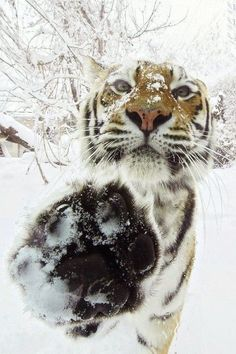"Tiger in the snow. Support ""Southern California Cat Adoption Tails"" www.catadoptiontails.com"