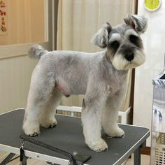 Ranked as one of the most popular dog breeds in the world, the Miniature Schnauzer is a cute little square faced furry coat. Schnauzer Cut, Schnauzer Grooming, Miniature Schnauzer Puppies, Pet Grooming, Black Schnauzer, Standard Schnauzer, Giant Schnauzer, Miniature Schnauzer Black, Dog Grooming Styles