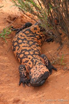 Banded Gila Monster | Flickr - Photo Sharing!