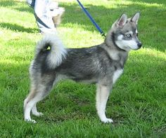 Alaskan Klee Kai - No room for a siberian husky, try one of these! All the beauty at a fraction of the size!