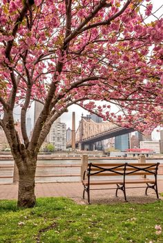 Roosevelt Island Cherry Blossom by Greg Torchia @gregroxphotos by newyorkcityfeelings.com - The Best Photos and Videos of New York City including the Statue of Liberty Brooklyn Bridge Central Park Empire State Building Chrysler Building and other popular New York places and attractions.