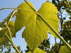 Vides, Vitis Vinifera, Plant Leaves, Green, Flowers, Plants, Leaves, Plant, Royal Icing Flowers