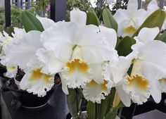 NOT CLONE Cattleya Mary Lynn McKenzie Natures Masterpiece Heirloom Orchid Plant | eBay Orchid Plants, Orchids, Painted Leaves, Outdoor Living, Mary, Nature, Painting, Outdoor Life, Naturaleza