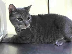 ***SAFE*** Pulled by Feline Rescue of SI- Donation website: http://felinerescueofstatenisland.webs.com/ 11/29/14 Staten Island Center  My name is CHARCOAL. My Animal ID # is A1020551. I am a neutered male gray domestic sh mix. The shelter thinks I am about 6 YEARS old.  I came in the shelter as a STRAY on 11/13/2014 from NY 10304, owner surrender reason stated was STRAY.