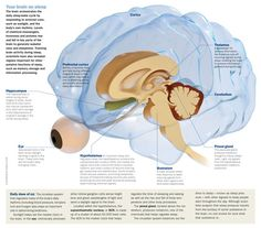 Your brain on sleep, link back to website to view larger version
