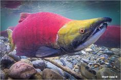 pictures of sockeye salmon run 2014 bc - Google Search