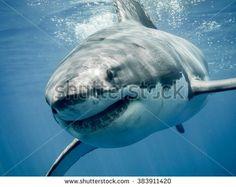 Gratis afbeelding op Pixabay - Haai, Vis, Dierlijke, Sea Life