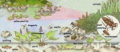 Pond habitat info- great site