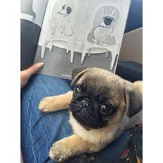 Bringing home a new reader.  #beloveddog #maurakalman #puppy #newpuppy #pug #puglife #pugsofinstagram #puglove #books #booklove