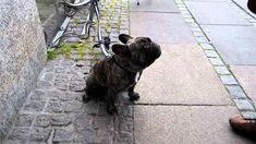 Funny talking French Bulldog