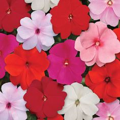 Great Shade Option. Bright color for your dark shade garden