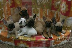 Pile o' Frenchie Pups
