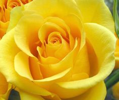 Single Yellow Rose.  Was my mom's favorite.