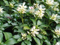 Pachysandra terminalis, een wintergroene bodembedekker die maart – april bloeit. Deze plant kan schaduw verdragen en wordt daarom vaak onder struiken of bomen geplant.