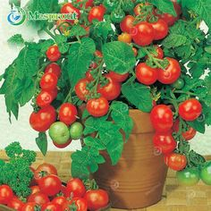 100PCS Bonsai Pearl Tomato seeds Mini Cherry Potted Sweet Fruit Vegetable Organic Fresh