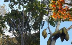 Castanospermum Australe Moreton Bay Chestnut Blackbean Seeds
