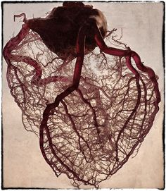 The #HumanHeart stripped of fat & muscle with just the angel #Veins exposed.. #Human #Anatomy #Heart ..