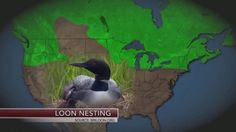 A recent report says climate change is having a big impact on birds in North America. Learn more! #climatechange #environment #birds #loon #channelonenews
