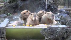 この子たちは、埼玉こども動物自然公園のカピバラさんたちです。 カピバラは、げっ歯類で、一番大きいです。 カピバラさんたちは、ゆず湯を楽しんでたです。 ゆず湯とは、ゆずを浮かべたお風呂です。 いくつか浮かんでる黒いものは、カピさんたちのうんちです。 カピバラさんは、水の中でうんちをする習性があるです。 They a...