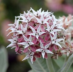 """I absolutely LOVE Milkweeds!  If you live in California, this is a """"must"""" native for your garden! Attracts bees, beneficial insects, hummingbirds and best of all lots and lots of butterflies, since this is an essential food source for them! Perennial (comes back each year) and drought tolerant!"""
