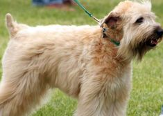 About Dog Soft Coated Wheaten Terrier: Is Your Soft Coated Wheaten Terrier Potty Trained Enough? Dog Sleeping Positions, Sleeping Dogs, Wheaton Terrier Soft Coated, Best Hypoallergenic Dogs, Wheaten Terrier, Terriers, Rottweiler Dog Breed, Friendly Dog Breeds, Every Dog Breed