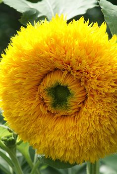 """Fluffy Sunflower"" by orchidgalore - Teddy Bear dwarf sunflower; blooms are 3-5 inches"