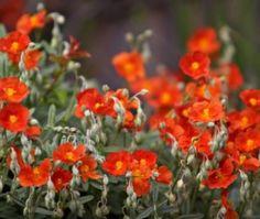 Zonneroosje (Helianthemum 'Henfield Brilliant')-directplant
