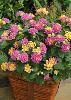 Container Gardening Ideas lantana - All plants need water to survive. However, like plants that require more water, there are plants that grow in lack of water. They are the best drought tolerant plants and can live without water for a long time. Outdoor Flowers, Outdoor Plants, Potted Plants Patio, Landscaping Plants, Flowers For Full Sun, Outdoor Flower Planters, Backyard Planters, Florida Landscaping, Landscaping Jobs