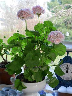 Pikkutalon elämää Geranium Flower, Geraniums, Fruit, Flowers, Plants, Plant, Royal Icing Flowers, Flower, Florals