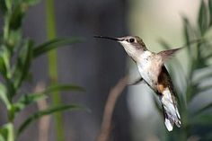 Kolibri, Vogel, Flucht