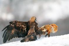 The best of Yves Adams - 2012: En arg Kungsörn (Aquila chrysaetos) sätter klorna i en Rödräv (Vulpes vulpes) som försökte nypa en del av sin mat. Hellt otrolig bild!