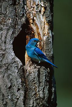 Mountain Bluebird Nesthole