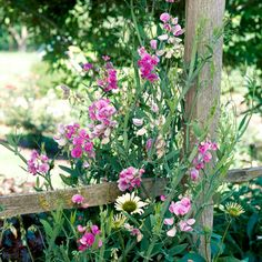 Perennial sweet pea - I have in the back - need to keep on top of it and make it climb the trellis so it doesn't take over again!