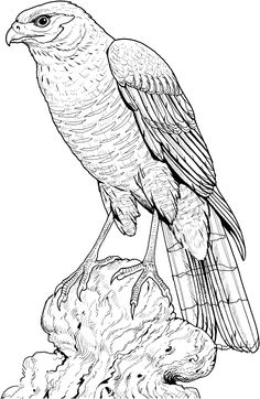 perched-hawk-coloring-page.gif (1728×2653)