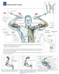 High Pulley Curls ♦ #health #fitness #exercises #diagrams #body #muscles #gym #bodybuilding #arms