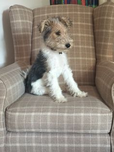 Pip the wire haired fox terrier. Always on the lookout