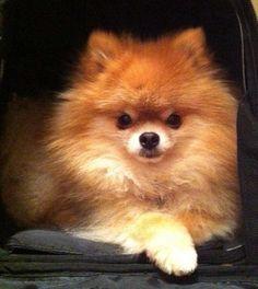 My sweet Pomeranian baby