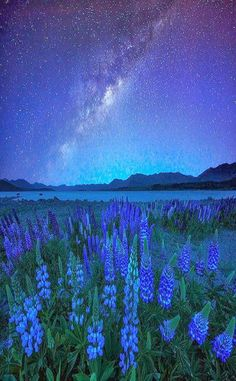 Midnight Blue - Lupines and Star, Lake Tekapo, New Zealand  I don't think it's possible to go to New Zealand and take a bad photo!
