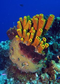 Photo of different species of sponges on a coral reef in the Bahamas. Underwater Music, Fauna Marina, Life Under The Sea, Sea Sponge, Marine Aquarium, Live Coral, Polymer Clay Projects, Sea World, Ocean Life