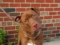 TO BE DESTROYED - 06/20/14 Brooklyn Center  My name is BLAZE. My Animal ID # is A1003215. I am a neutered male brown and white am pit bull ter mix. The shelter thinks I am about 10 MONTHS old.  I came in the shelter as a OWNER SUR on 06/14/2014 from NY 11234, owner surrender reason stated was LLORDPRIVA.  https://www.facebook.com/photo.php?fbid=823341901012024set=a.611290788883804.1073741851.152876678058553type=3theater
