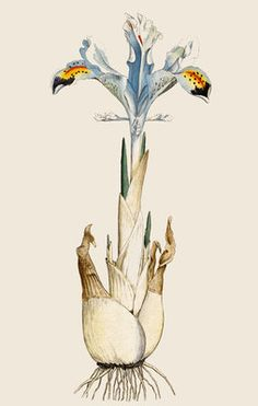 Fine Art Print of Iris by Anonymous Iris Drawing, Plant Drawing, Painting & Drawing, Botanical Drawings, Botanical Illustration, Botanical Prints, Nature Prints, Art Prints, Iris Art