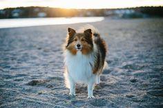 https://flic.kr/p/NSaVdu | Walk on the beach | My sheltie, Nova, posing casually in the sunset.